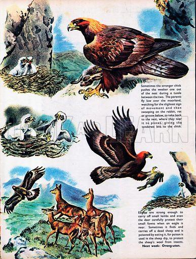 The Golden Eagle.