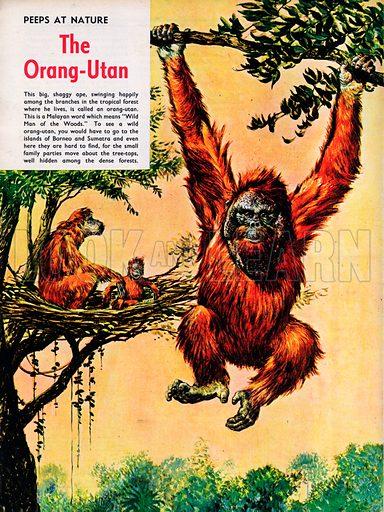 The Orang-Utan.