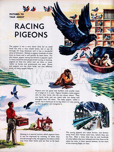 Racing Pigeons.