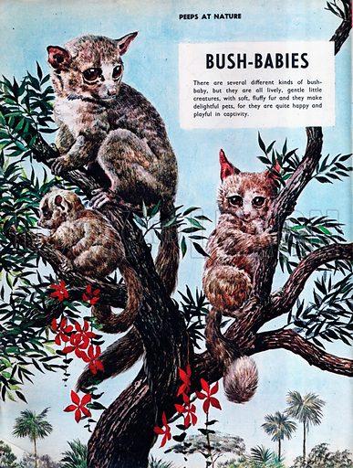 Bush-Babies.