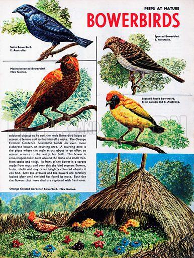 Bowerbirds.