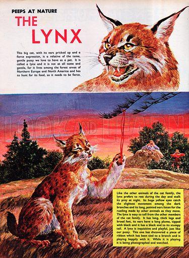 The Lynx.