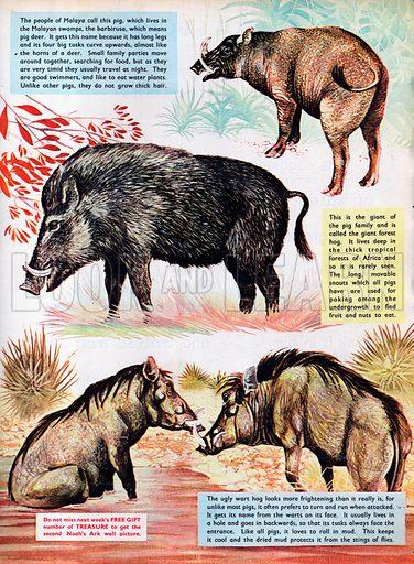 Wild Pigs.