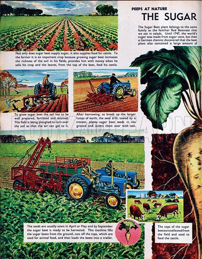 The Sugar Beet plant.
