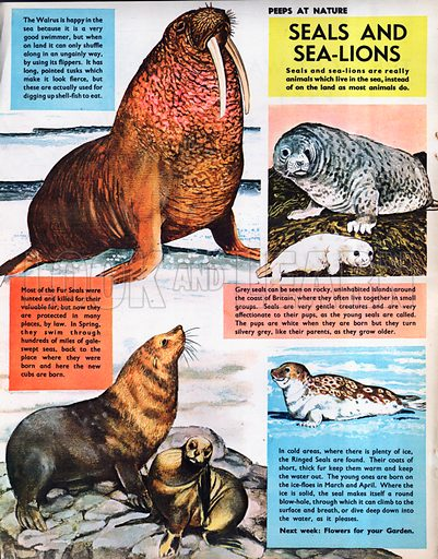 Seals and Sea-Lions.