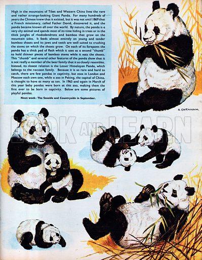 The Giant Panda.