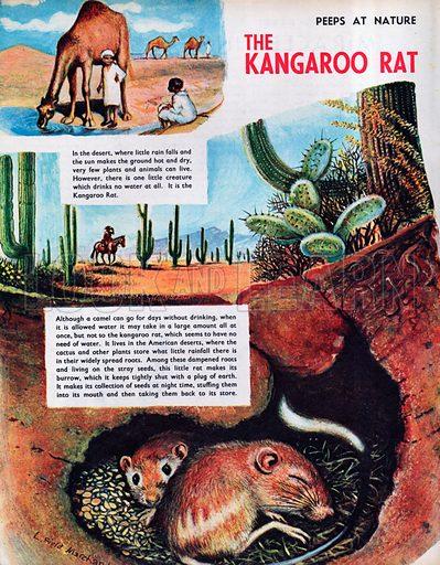 The Kangaroo Rat.