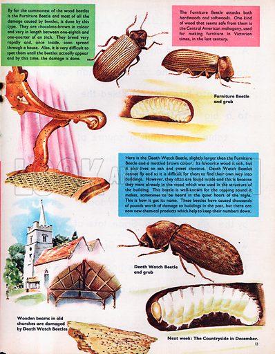 Wood Beetles.