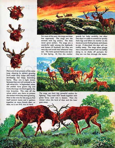 The Red Deer.