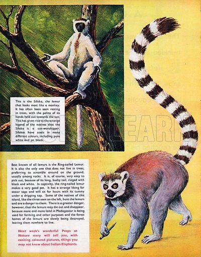 The Lemurs.