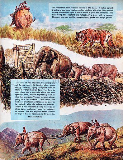 Indian Elephants.