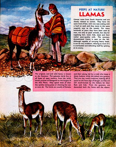 Llamas and Guanaco.