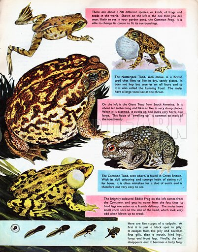 Frogs and Toads.