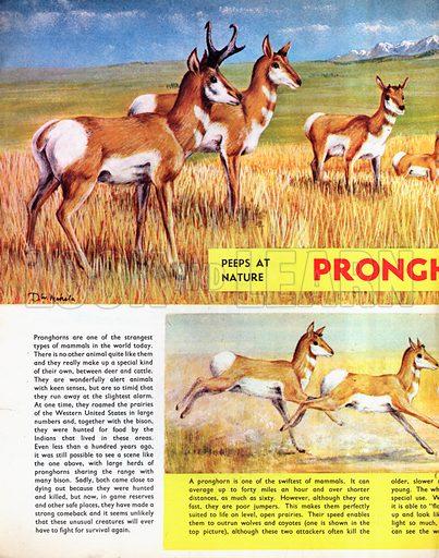 Pronghorns.