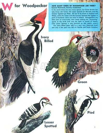 W for Woodpecker. How many kinds of woodpecker are there?.