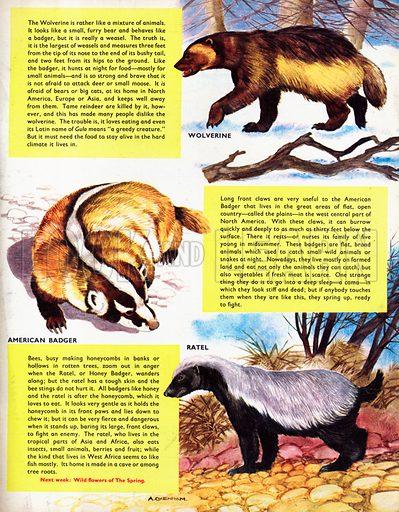 The Badger Family.