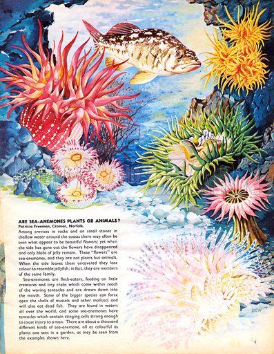 Are Sea-Anemones plants or animals?.