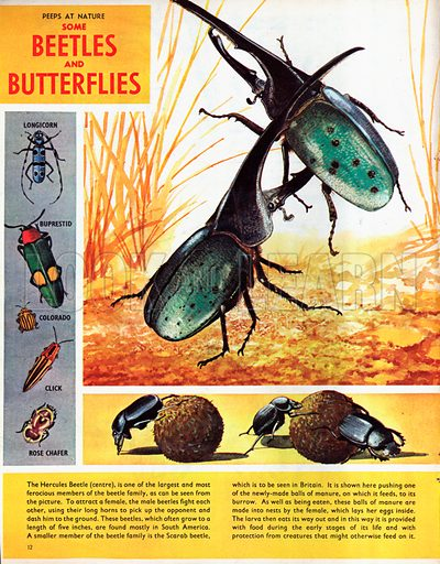 Some Beetles and Butterflies.