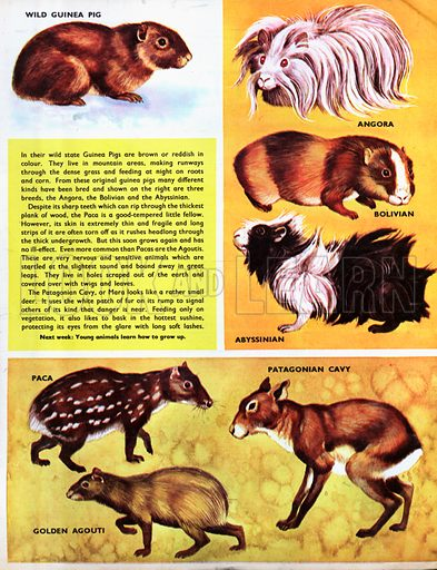 South American Rodents.