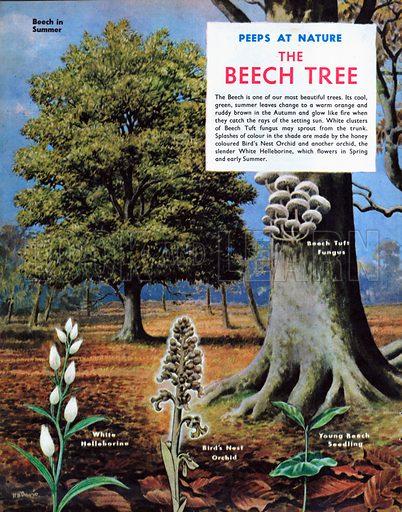 The Beech Tree.