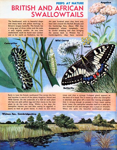 British and African Swallowtails - British Swallowtail.