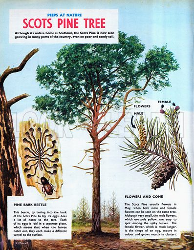Scots Pine Tree.