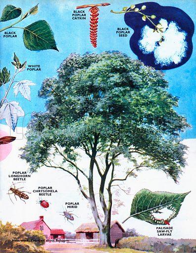 Poplar Trees.