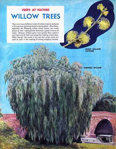 Willow Trees.