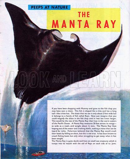 The Manta Ray.