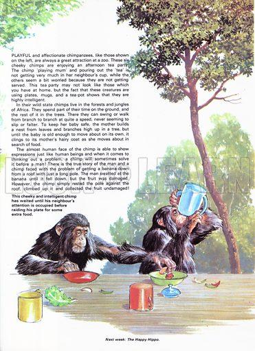 The Chimpanzees take tea at the Zoo.
