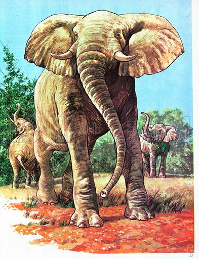 Elephants of Africa.
