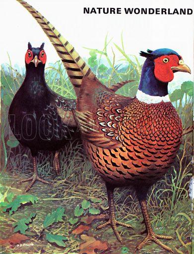 Pheasants.