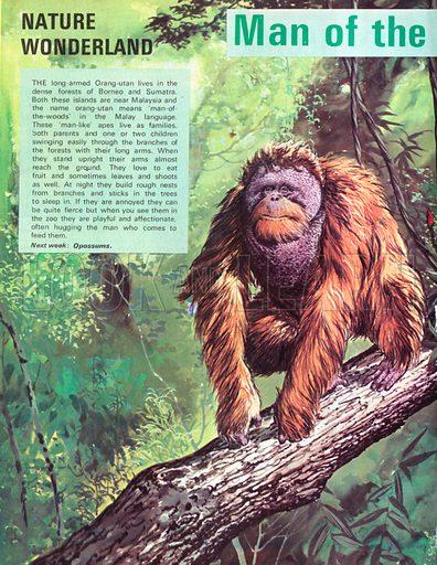 Man of the woods - the Orang-utan.
