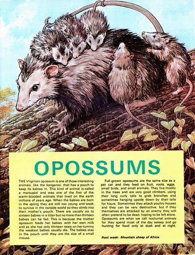 Opossums.