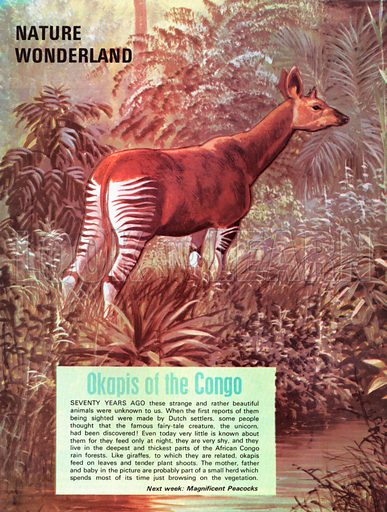 Okapis of the Congo.