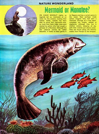 manatee, picture, image, illustration