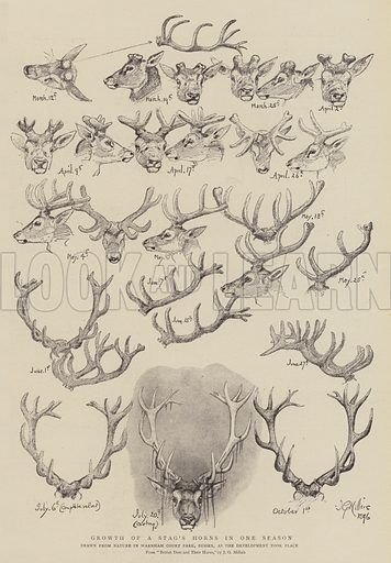 Growth of a Stag's Horns in One Season