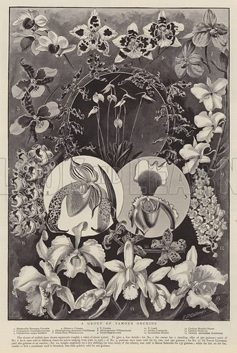 A group of famous orchids.  Illustration for The Graphic, 9 June 1894.