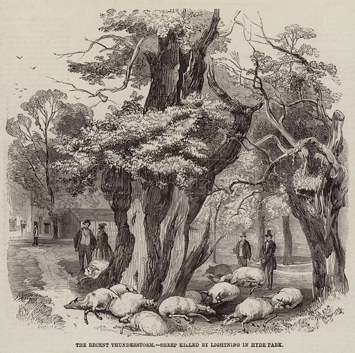 The Recent Thunderstorm, Sheep killed by Lightning in Hyde Park. Illustration for The Illustrated London News, 16 July 1859.