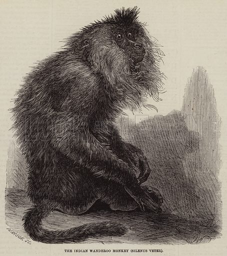 The Indian Wanderoo Monkey, Silenus veter. Illustration for The Illustrated London News, 8 October 1859.