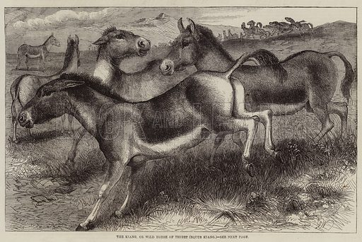 The Kiang, or Wild Horse of Thibet, Equus Kiang. Illustration for The Illustrated London News, 29 October 1859.