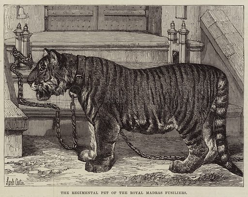 The Regimental Pet of the Royal Madras Fusiliers. Illustration for The Illustrated London News, 30 April 1870.