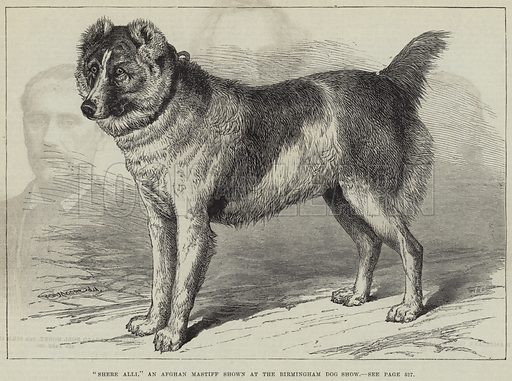 """""""Shere Alli,"""" an Afghan Mastiff shown at the Birmingham Dog Show. Illustration for The Illustrated London News, 6 December 1879."""