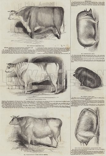 Prize Animals at the Royal Society of England Meeting at Derby. Illustration for The Illustrated London News, 22 July 1843.