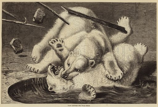Fight between Two Polar Bears. Illustration for The Illustrated London News, 10 February 1877.