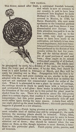 The Dahlia. Illustration for The Illustrated London News, 6 August 1842.