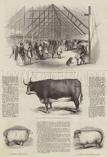 Smithfield Club Prize Cattle Show. Illustration for The Illustrated London News, 10 December 1842.