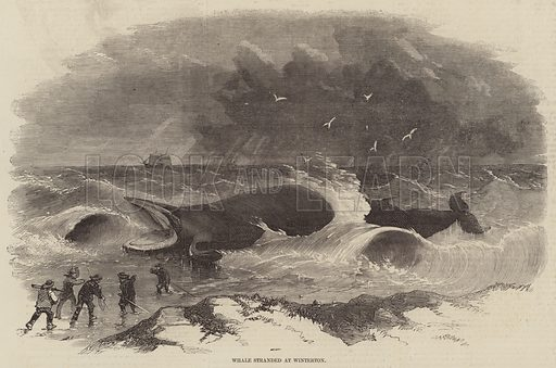 Whale stranded at Winterton. Illustration for The Illustrated London News, 24 January 1857.