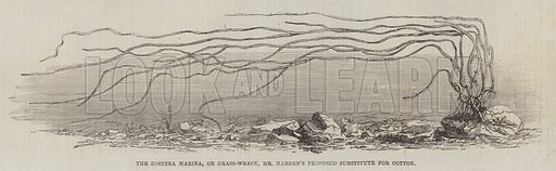 The Zostera Marina, or Grass-Wrack, Mr Harben's Proposed Substitute for Cotton. Illustration for The Illustrated London News, 18 October 1862.