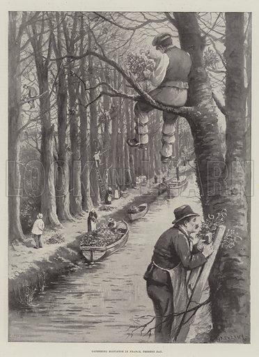Gathering Mistletoe in France, Present Day